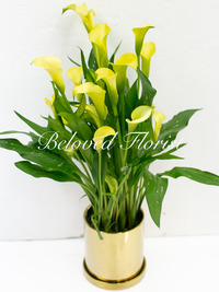 Yellow Calla Lily Plant in Golden Pot