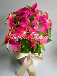 Pink Christmas Flower Plants with LED light and pink pot.